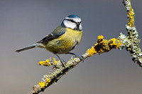 Blue Tit perched on a Lichen covered branch.