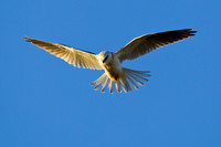 Black-shouldered Kite-A1
