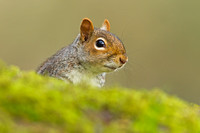 Grey Squirrel-A1