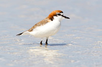 Red-capped Plover-A1