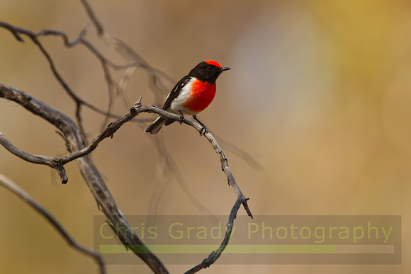 Red-capped Robin-A7