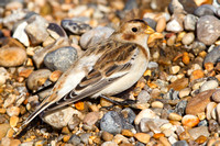 Snow Bunting-A1