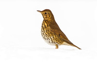 Song Thrush in snow