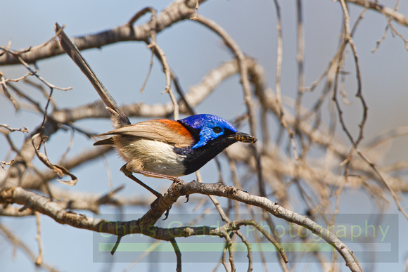 Variegated Fairy-wren-A2
