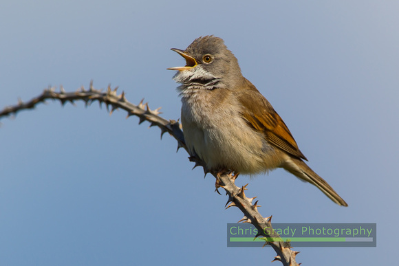 Whitethroat singing from a bramble