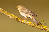 Willow Warbler-A2