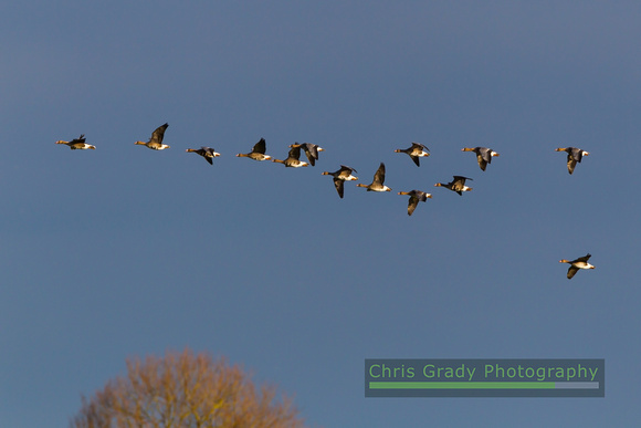 White-fronted Goose-1