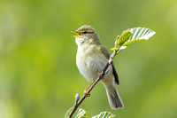 Willow Warbler-A3