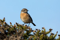 Stonechat Female on Gorse