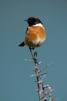 Stonechat on a thorny perch