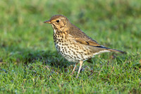 Song Thrush in a winter meadow