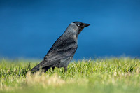 Jackdaw in Cornwall