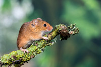 Harvest Mouse on a lichen covered twig
