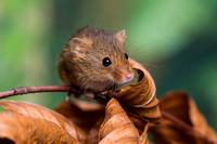 Harvest Mouse on an Autumn twig