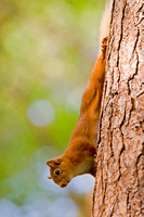 Red Squirrel-6
