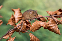 Harvest Mouse on an Autumn Beech branch
