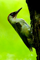 Green Woodpecker-3