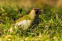 Green Woodpecker-8