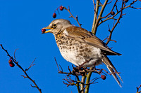 Fieldfare with a berry in it's beak