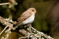 Spotted Flycatcher in the Scottish Highlands