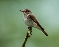 Spotted Flycatcher at rest