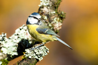 Blue Tit on a Lichen covered branch in the Autumn
