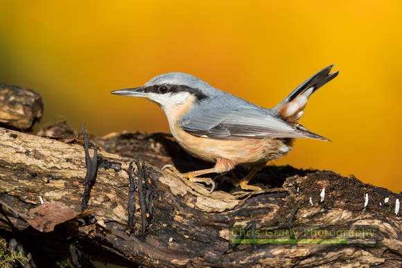 Nuthatch on an old rotting log