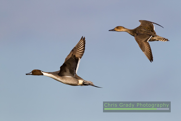 Pintail pair in flight