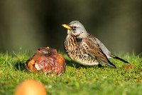 Fieldfare with a rotten apple