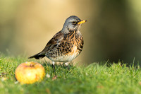 Fieldfare with a windfall apple