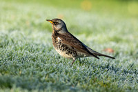 Fieldfare on frosty grass
