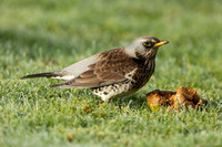 Fieldfare on frosty grass with a rotten windfall apple