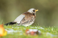 Fieldfare in winter