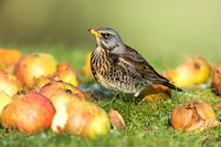 Fieldfare in amungst windfall apples