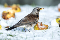 Fieldfare with windfall apples in the snow
