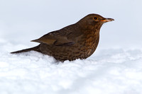 Female Blackbird on Snow - Combe Hill, Devon