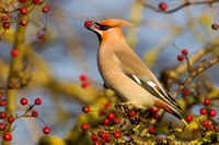 Waxwing-A8