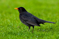 Blackbird standing on grass - Herefordshire