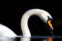 Mute Swan with water droplets