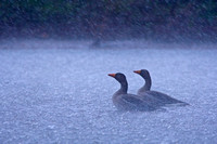 Greylag Geese in a storm