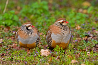 Red-legged Partridge-A3