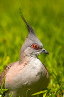 Crested Pigeon-A2