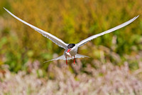 Common tern with a small fish