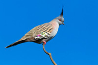 Crested Pigeon-A3