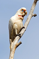 Long-billed Corella-A1