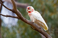 Long-billed Corella-A2