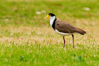 Masked Lapwing-A4