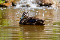 Pacific Black Duck-A2