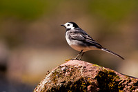 Pied Wagtail-A1