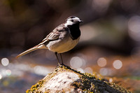 Pied Wagtail-A2
